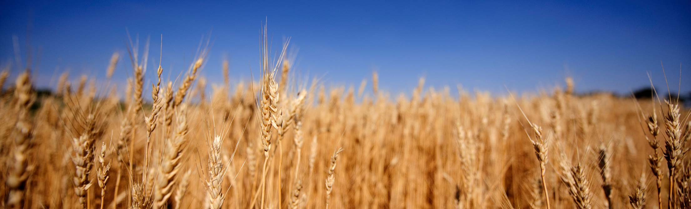 A field of wheat with blue sky behind