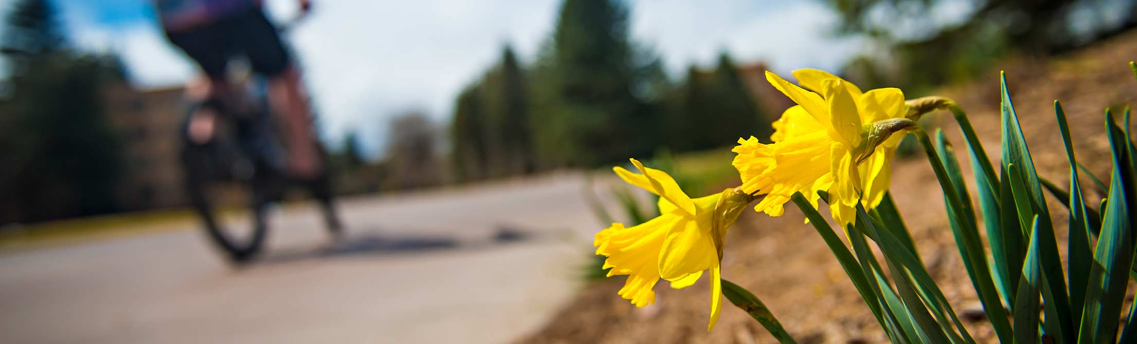 picture of daffodils and biker
