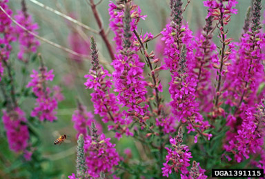 Noxious weeds part 2 quiz wy cooperative agricultural pest purple loosestrife mightylinksfo