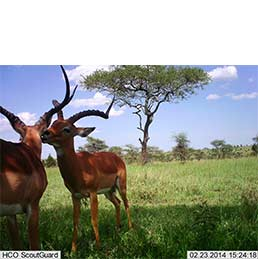 Two impala are captured on a stationary camera in the Serengeti