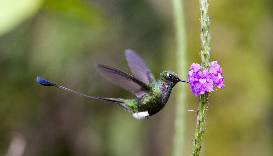 Verbena Attracts Hummingbirds | Flowers That Attract Hummingbirds To Keep In Your Homestead