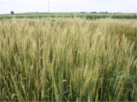 wheat department of plant sciences college of agriculture and
