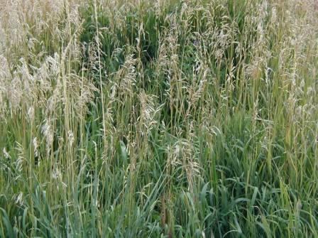 Smooth Brome  |Smooth Bromegrass Seed