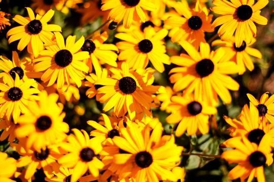 Brown eyed susans-flowers