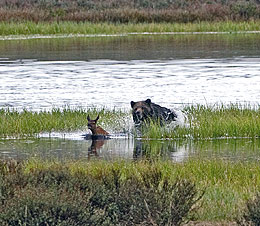 Study: Yellowstone trout decline pushes bears to elk calf diet - Missoulian