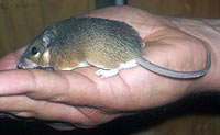 UW Researcher's Study of African Spiny Mice Reveals First Documented Case of Tissue Regeneration in Mammals