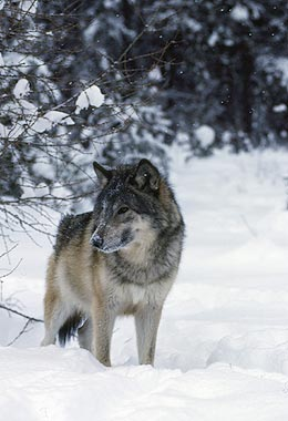 Wyomingites Split on Wolf Reintroduction