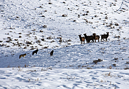 UW Study: Wolf Harassment Has Little Impact on Elk