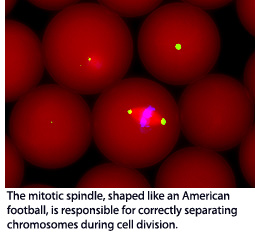 he mitotic spindle, shaped like an American football, is responsible for correctly separating chromosomes during cell division.