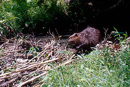 UW Study Finds That Beavers Help Keep Riparian Systems Healthy