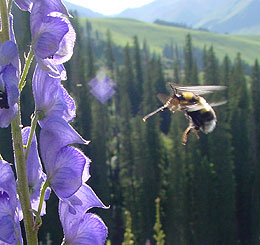 UW Professor Discovers Alpine Bumblebees Can Fly to Heights Above Mount Everest