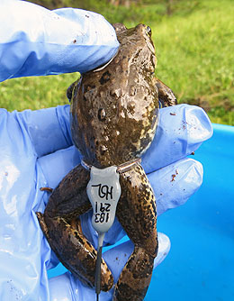 UW Researchers Examine Columbia Spotted Frog Population in Big Horn Mountains