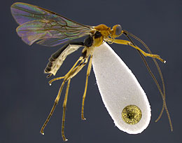 UW Entomologists Discover Mummy-Making Wasps in Ecuador