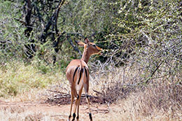 impala antelope feeding on low trees