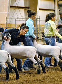 group of young women showing lambs in an arena