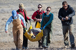 group of people carrying sedated deer in sling