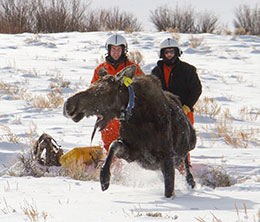 two people behind moose climbing to its feet after capture