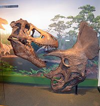 two dinosaur skulls featuring a tyranosaur biting a triceratops