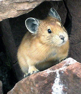 pika, a small mammal, peeking out from between rocks
