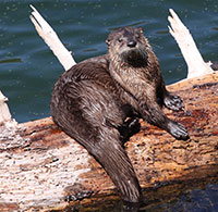 an otter on a log in water