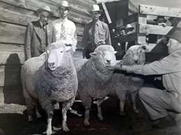 man kneeling by sheep with other men in background