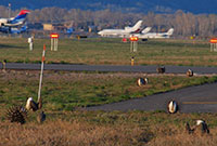 sage grouse in the foreground with an airport and airplanes in the background
