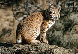 bobcat in the wild crouching on a rock