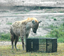 hyena sniffing at metal box