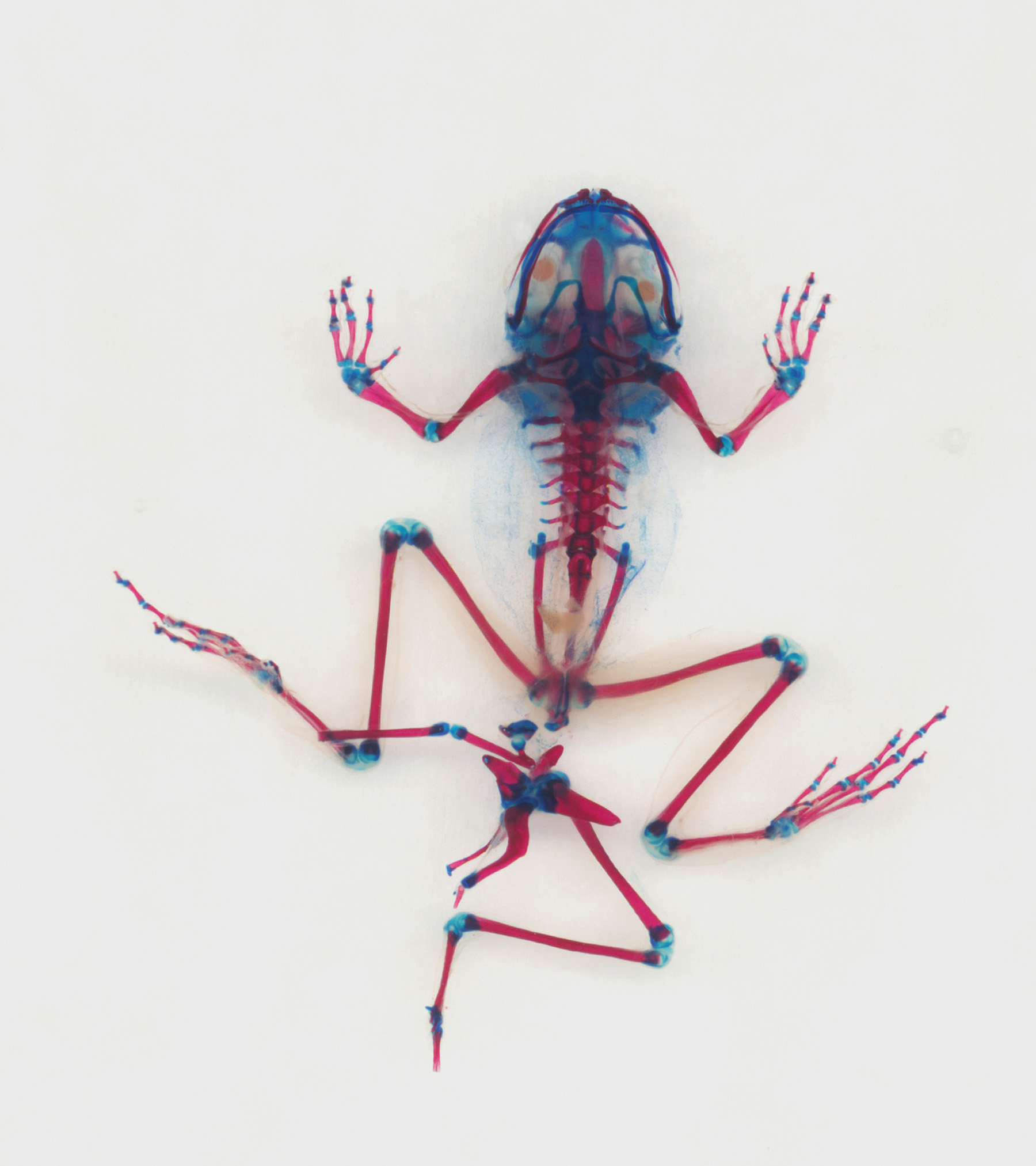 xray image of frog with  bones and joints highlighted in red and blue