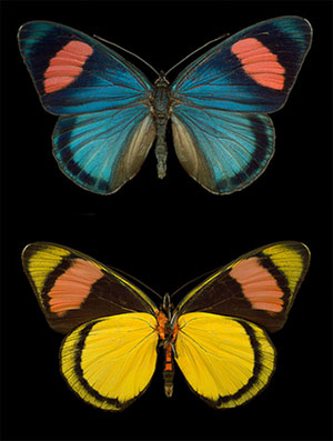 two butterflies on a black background