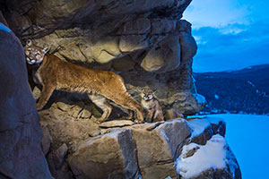 puma and kitten on rocky ledge
