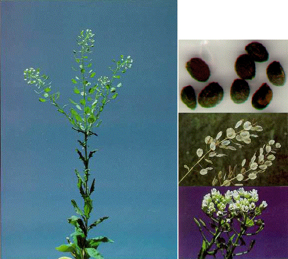Weeds Study Guide | Wyoming FFA Agronomy Contest ...