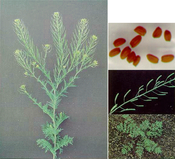 Noxious Weeds | Weeds Study Guide | Wyoming FFA Agronomy ...