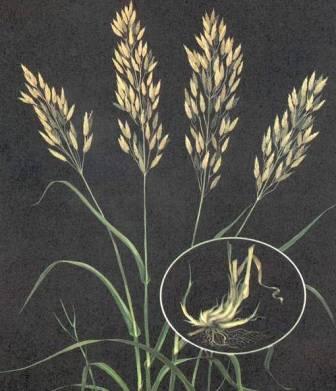 Amazon.com : Smooth Brome Seed, (Manchar) - 10 Pound ...  |Smooth Bromegrass Seed
