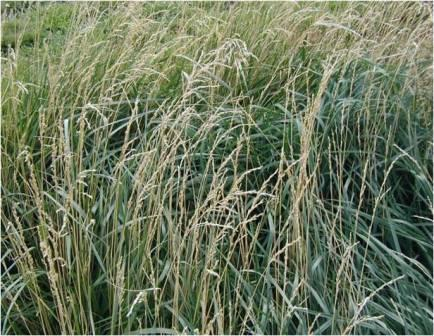 Forage Identification Tall Fescue