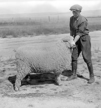 vintage photo of a man holding on to a sheep and showing if off